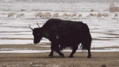 Yak crosses snow covered landscape Stock Footage