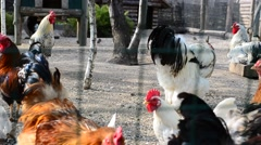 Hens on a farm and roosters Stock Footage
