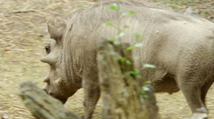 An African Warthog Stock Footage