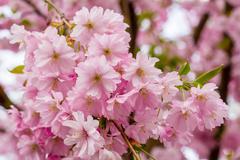 Pink Sakura flower blooming - stock photo