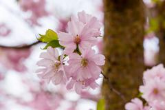 Pink Sakura flower blooming - stock photo