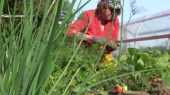 Old farmer woman weed strawberry plants with ripe berry Stock Footage