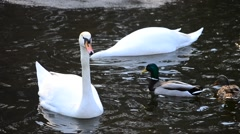 Cygnus olor. Mute swans swim in a pond in spring with wild ducks Stock Footage