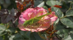 Big green grasshopper on the rose flower in the garden 4K 3840X2160 UHD video Stock Footage