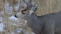 High Angle Shot of 3 Year Old Mule Deer Buck - Zoom in On Face Stock Footage