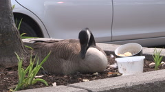 Canada goose makes it's nest and lays eggs in urban shopping mall parking lot. Stock Footage