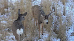 Younger Mule Deer Buck Courting a Doe Stock Footage