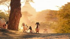 Group of goats in sun light on rural village road of Bagan Myanmar with temple Stock Footage