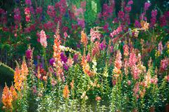 Beautiful colorful flowers of antirrhinum - stock photo
