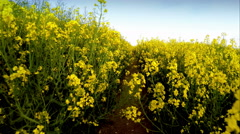 Farmer walking though rapeseed crops Stock Footage