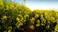 Farmer walking though rapeseed crops - stock footage