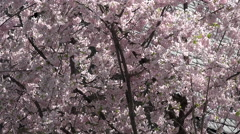 Stock Video Footage of Washington DC National Cathedral cherry blossoms slate roof 4K 027