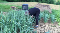 Woman picking leek in the garden Stock Footage