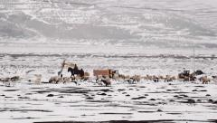 Sheep graze on snow covered landscape and shepherd stands guard on a horse Stock Footage