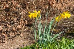 Daffodils on a spring day - stock photo