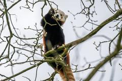 Red panda climbing in a tree Stock Photos