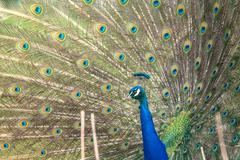Peacock with open feathers Stock Photos