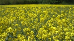 Mid shot of oil seed rape flowers Stock Footage