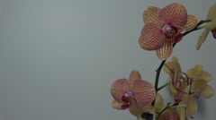 Tracking shot. Purple orchids. Stock Footage