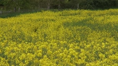 mid shot of oilseed rape blowing in the wind - stock footage