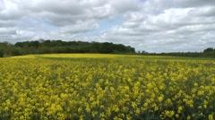 wide shot of field of oilseed rape - stock footage