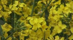 Close up of flower on oilseed rape Stock Footage