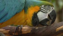 Blue and Yellow Parrot sharpens beak on branch - stock footage