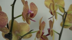Tracking shot. Purple orchids. - stock footage