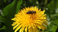 bee collects nectar on Dandelion - stock footage