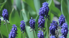 Muscari botryoides flowers also known as blue grapes in closeup Stock Footage