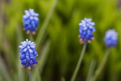Grape blue hyacinth, spring flowers Stock Photos