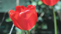 Red Tulip with showy flowers, waving in the wind, close-up - stock footage