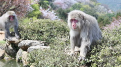 Macaque Monkey sitting by a pool watching as another monkey walks past it Stock Footage