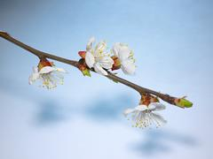 Beautiful pink cherry blossom on a blue background. Kuvituskuvat