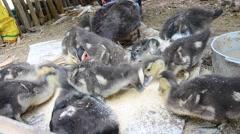Duck eating food Stock Footage