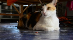 Thai cat Stock Footage