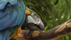 Blue and Yellow Parrot pecking at wire on perch - stock footage