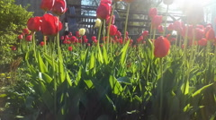 tulips - stock footage