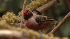 Brown capped Rosy finch eating seeds Stock Footage