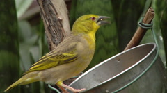 Green finch eating out of feeder Stock Footage