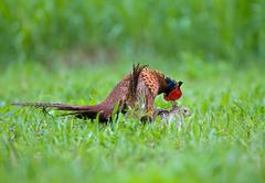 Male and female pheasant making love Stock Photos