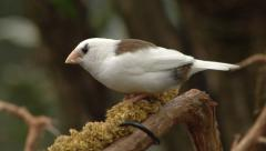 White finch eating on a branch - stock footage