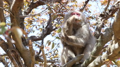 Macaque monkey feeding in a tree Stock Footage