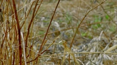 Old reeds growing on the water Stock Footage