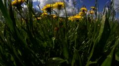 Dandelion - Taraxacum officinale - in springtime sun Stock Footage