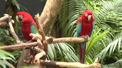 Two Green and Red Parrots.  Woman brings them food Stock Footage