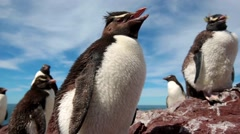 Rockhopper penguins calling Stock Footage