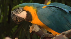 Blue & Yellow Parrot sitting on branch, turns it back on us Stock Footage