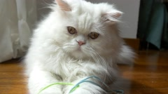 Beautiful white persian cat playing and looking at the camera 4k Stock Footage