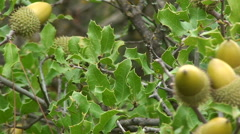 Close up on acorn in oak tree, pan right Stock Footage